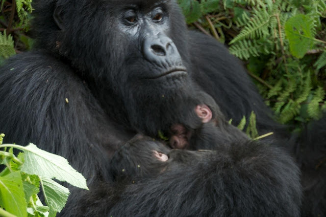 rwanda 4days gorilla safaris, hiking, trekking tours
